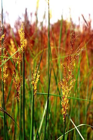 'Auburn Grasses'