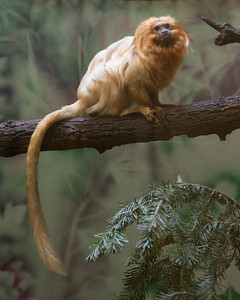Golden Lion Tamarin at Elmwood Zoo Park in Norristown, PA