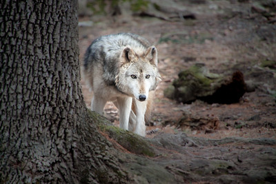 Lone Grey Wolf by Tree at Elmwood Zoo Park in Norristown, PA