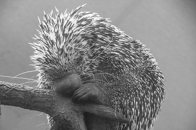 Prehensile-Tailed Porcupine at Elmwood Zoo Park in Norristown, PA