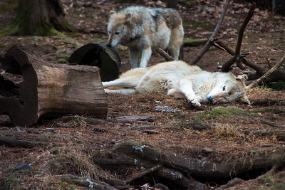 Two Grey Wolves at Elmwood Zoo Park in Norristown, PA