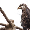 Bald Eagle on branch at Elmwood Zoo Park in Norristown, PA