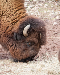 American Bison at Elmwood Zoo Park in Norristown, PA
