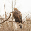Golden Eagle on branch at Elmwood Zoo Park in Norristown, PA