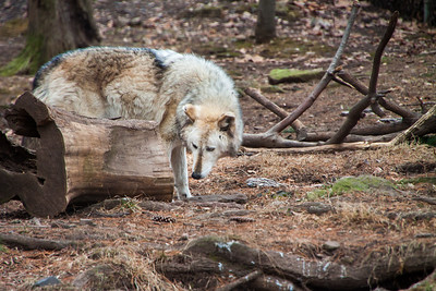 Grey Wolf at Elmwood Zoo Park in Norristown, PA