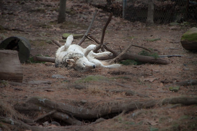 Grey Wolf rolling at Elmwood Zoo Park in Norristown, PA