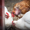 Chicken Gossiping at Elmwood Zoo Park in Norristown, PA