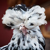 Chicken with Poofed Head Feathers at Elmwood Zoo Park in Norristown, PA