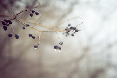 Berries with Drops at Trewellyn Preserve