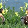 Two Male Mallard Ducks at Northside Pond - Lebanon, PA