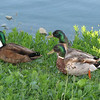 Three Male Mallard Ducks at Northside Pond - Variation of Coloring - Lebanon, PA
