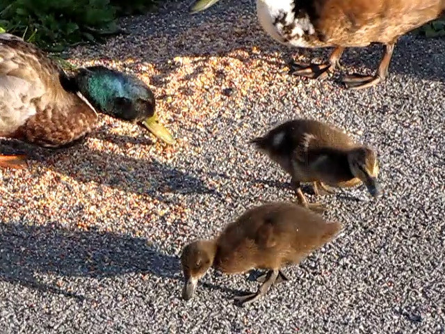 Mallards, Ducklings, Canada Geese, Goslings - Lebanon, PA  5-31-09