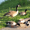 Ducks and Geese Eating Bird Seed at Northside Pond - Lebanon, PA