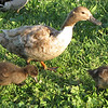 Mama Duck and Ducklings at Northside Pond - Lebanon, PA