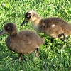 Ducklings at Northside Pond - Lebanon, PA