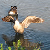 Canada Geese at Northside Pond - Lebanon, PA