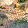 Baby Canada Geese at Northside Pond - Lebanon, PA - Lebanon, PA