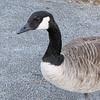 Closeup of Canada Goose