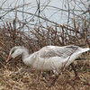 Young Snow Goose - Middle Creek Wildlife Area