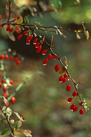 (15) American Barberry bush (Berbera canadensis) with water drops in autumn, Unami Creek, PA
