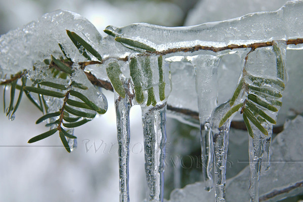(8) Icicles on conifer tree - Quakertown, PA   [fx]