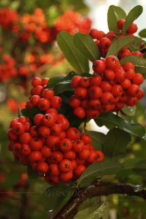 (14) Firethorn or Pyracantha Bush - Quakertown, PA