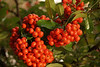 (13) Firethorn or Pyracantha Bush - Quakertown, PA