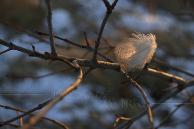 """(4) Downy Back-lit Feather in Winter Twilight - Quakertown, PA... Poet Emily Dickinson wrote, """"Hope is the thing with feathers That perches in the soul..."""""""