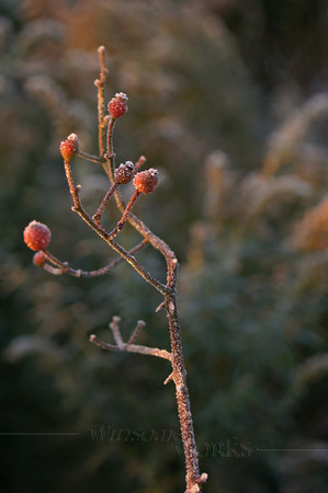 (18) Single Hawthorn Berry Stem with Frost in Fall