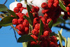 (12) Pyracantha (Firethorn) Berries in Snow - Quakertown, PA (Closeup of Previous)