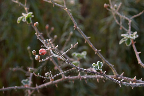 (17) Frost-covered Hawthorn Berry Stem (Crataegus monogyna) in Autumn