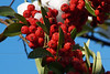 (11) Pyracantha Berries in Snow - Quakertown, PA