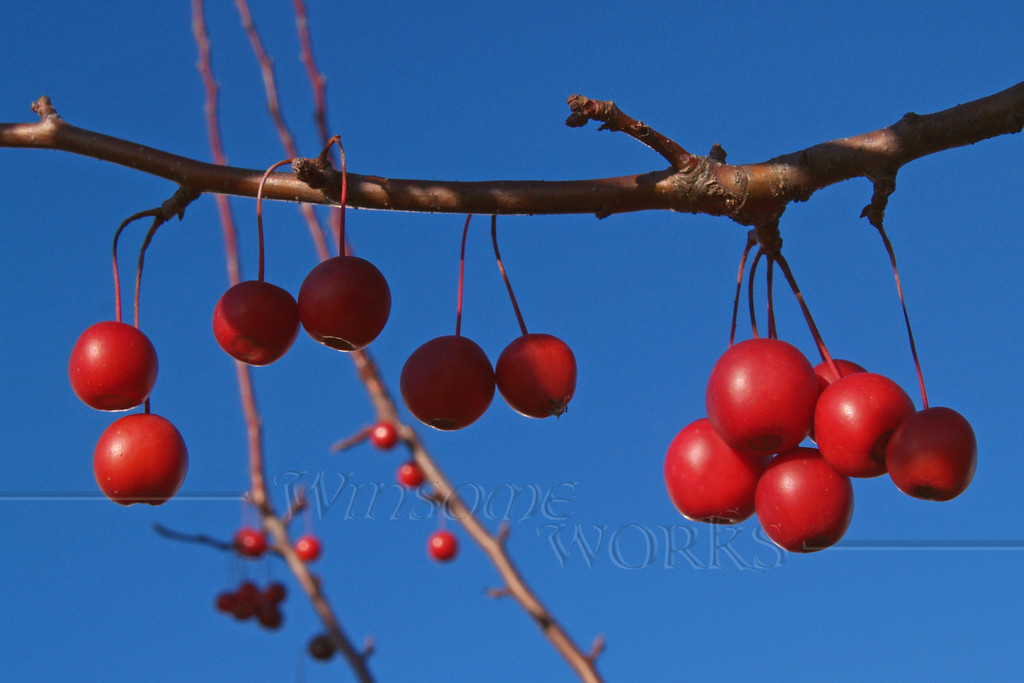 "(16) Ornamental Crab-apple Branch (genus ""Mallus""); Nov., Eastern PA"