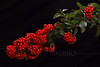 (10) Firethorn (Pyracantha) Stem on Black  - Quakertown, PA