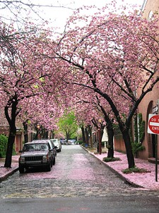 Pennsylvania Travel Photography - Philadelphia -Center City - Cherry Trees in bloom