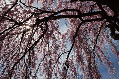 PA-Phila-Fairmount Park Cherry Blossoms