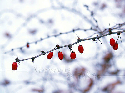 American barberry (Berberis canadensis) on mid-winter snowy day - Canadensis, Pocono Mountains, PA