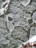 """Animal Face"" created by light snowfall on rock, Pocono Mts., Pennsylvania"
