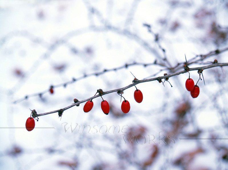 American barberry (Berberis canadensis) on mid-winter snowy day, Eastern Pennsylvania, Pocono Mountains