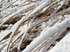 fallen reeds (Typha latifolia) make a pleasing pattern of lines in fresh snow with late morning light-- Pennsylvania
