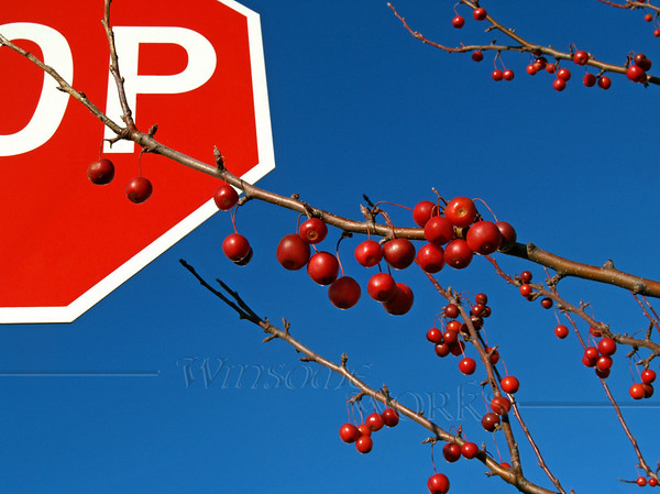"""branches of lush red ornamental crabapple (""""Malus"""") mutinously reach for azure sky against an emphatic """"STOP"""" sign; November afternoon in Eastern Pennsylvania"""