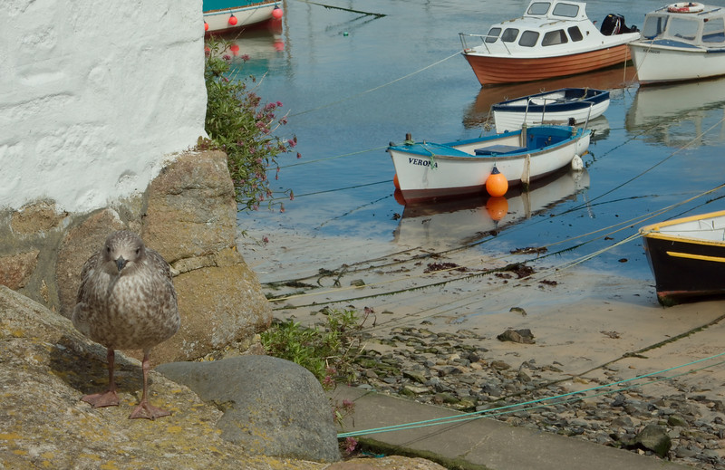 Gull at Mousehole harbor