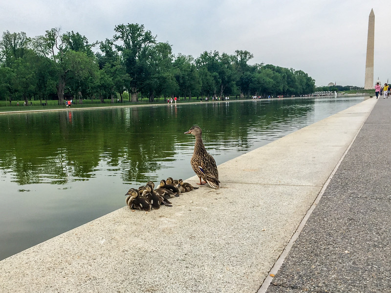Duck family at the Lincoln Memorial Reflecting Pool, Washington DC.