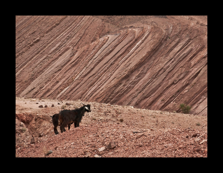 goats near Ait-Benhadou