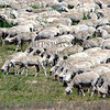 Sheeps grazing on the field in Perris, California.