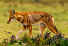 Southern Ethiopian Wolf