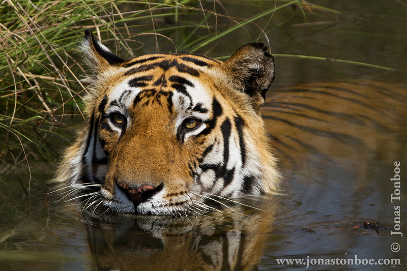 Male Royal Bengal Tiger in Waterhole