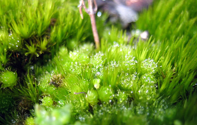 Moss growing on a granite boulder