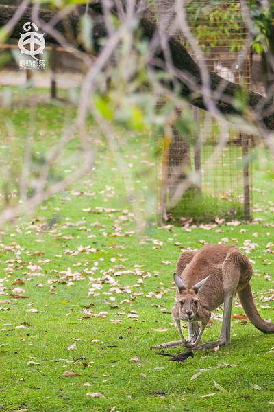 Australia, caversham wild life park, coala bear, kangaroo, owl, Perth, Perth zoo, sheep, West Australia, wild life park, wombats, 戳戳袋熊, 无尾熊, 澳洲, 澳洲西部, 猫头鹰, 珀斯, 绵阳脱衣秀, 草泥马, 袋鼠, 迷你袋鼠, 野生动物园