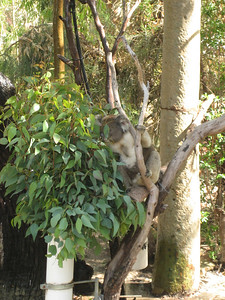 Koalas in Yanchep National Park (actually imported here as not native to WA)